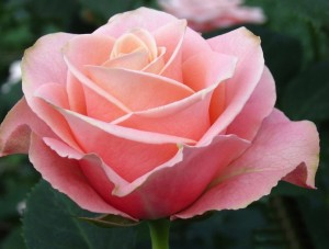 pink-rose-picture-for-fb-share