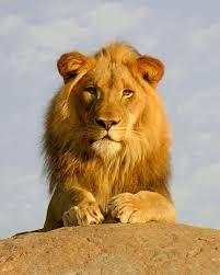 leo lion sindi short