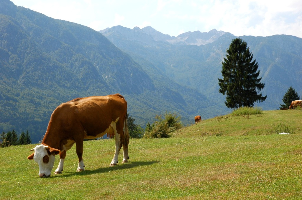 cow-pasture-lake-bohinj