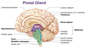 pineal-gland-thalamus-hypothalamus-pituitary-gland-pons-medulla